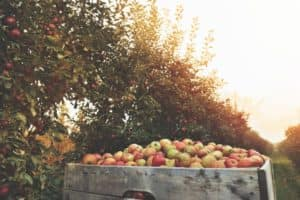 Best Apple Picking near Westchester County NY