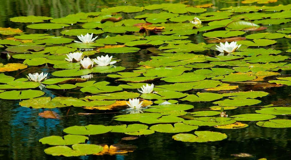 Lilypads and white flowers are shown in a pond.