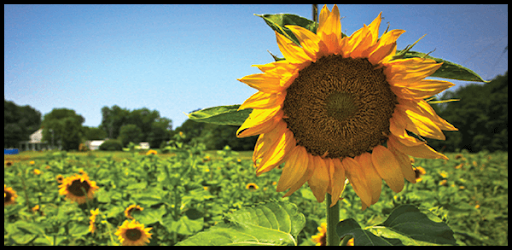 Heberts Town And Country >> Annual Sunflower Festival to Wow LA Residents | Hebert's ...